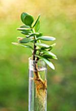 Толстянка - денежное дерево