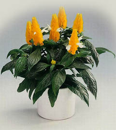 Фото цветы пахистахис