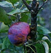 колоновидные яблони сорта валюта