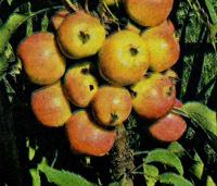 колоновидные яблони сорта президент